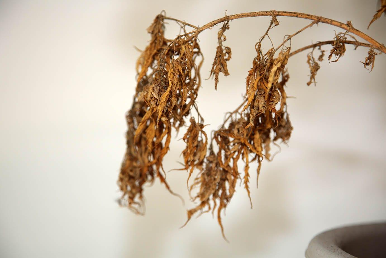 missouri cannabis dead marijuana plant
