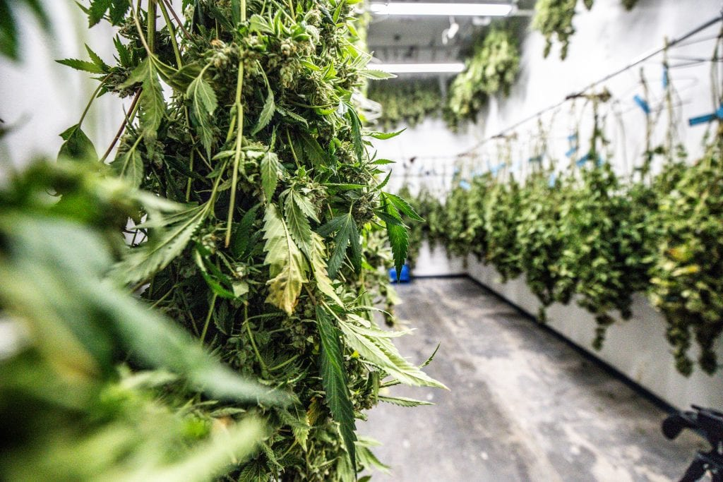 cannabis drying rooms with cannabis hanging on racks